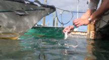 Atlantic Tarpon (Megalops Atlanticus) Snatches A Fish Out Of A Hand