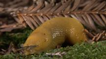 A California Banana Slug (Ariolimax Californicus) Crawls On A Moss Covered Stone