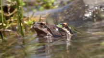 Pseudacris Sierra - Sierran Treefrog Male And Female Cling Together In A California Stream