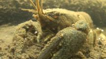 Freshwater, A Crayfish In A Connecticut River Rests On The Mud