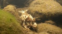 Freshwater, A Crayfish Carapace In A Connecticut River