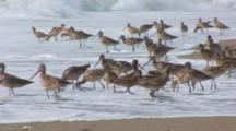 A Group Of Marbled Godwits (Limosa Fedoa) Forage For Sand Crabs Near The Surf