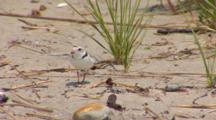 Piping Plover (Charadrius Melodus) Adults And Chicks In Native Habitat Og Grassy Dunes And Sand