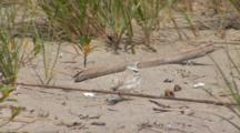 Piping Plover (Charadrius Melodus) Adults And Chicks In Native Habitat Of Grassy Dunes And Sand