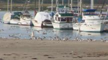 Western Gulls Land On A Sand Bar In Front Of Several Boats