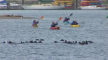 Sea Otter Colony Rafting, Socalizing, Resting, Rolling, Grooming watched by Eco-Tourists on Kayaks