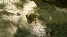 A Green Frog (Rana Clamitans Melanota) Resting On Rock