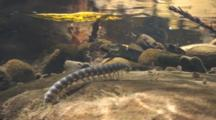 A Millipede Crawls On Rocks Underwater