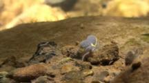 A Millipede Crawls On Rocks Underwater