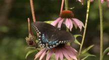 A Spicebush Swallowtail (Papilio Troilus) Butterfly Is Feeding On Cone Flowers