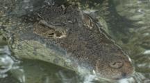 Cuban Crocodile (Crocodylus Rhombifer) Rests In A Pond