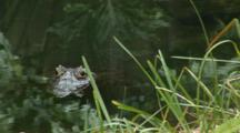 Yacare Caiman (Caiman Yacare) Resting In A Pond