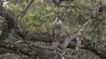 A Black-Crowned Night Heron (Nycticorax Nycticorax) In A Tree In An Artifical Habitat