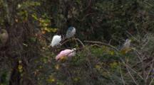 A Black-Crowned Night Heron, Spoon Bills And Egrets In A Tree In An Artifical Habitat