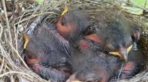 Chipping Sparrow (Spizella Passerina) Chicks In Nest