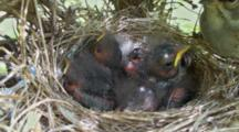 Chipping Sparrow (Spizella Passerina) Chicks In Nest, Mouths Open For Food
