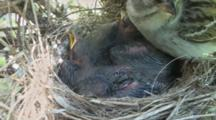Chipping Sparrow (Spizella Passerina) Chicks In Nest, Parent Rests On Edge Of Nest