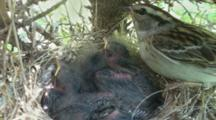 Chipping Sparrow (Spizella Passerina) Chicks In Nest, Parents Share A Bug
