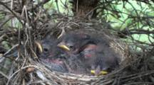Chipping Sparrow (Spizella Passerina) Chicks In Nest, Mouths Open For Food Parent Enters Frame