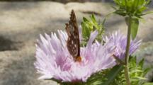 Great Spangled Fritillary (Speyeria Cybele) On A Flower In Spring