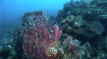 Small School Of Fish Swim Around A Vase Sponge