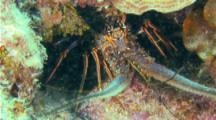 Tropical Spiney Lobster (Panulirus Argus) Hides In A Cave On A Coral Reef