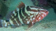 A Nassau Grouper (Epinephelus Striatus) Under A Ledge