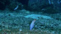 Yellow-Headed Jawfish (Opistognathus Aurifrons) Hover Above Their Burrows