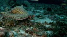 A Queen Conch (Strombus Gigas) Feeding On The Sea Floor, Small Fish Around Mouth