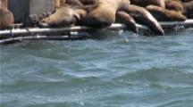 A Sea Otter (Enhydra Lutris) Swims Past A Dock With Sleeping Sealions While Breaking Open A Clam