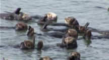 A Sea Otters (Enhydra Lutris) Rafting Together