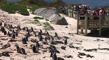 Tourists Watch Nesting Penguins On Shore