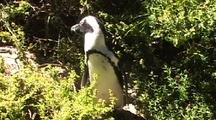 Penguin In The Bushes At Boulders Beach, South Africa