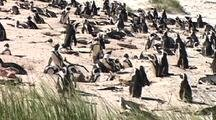 Penguin Nesting On Beach Team Together To Protect Against Bird (Shadow) At Boulders Beach, South Africa