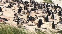 Penguins Nesting On Beach At Boulders Beach, South Africa, Zoom