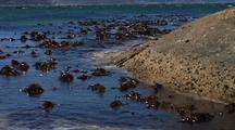 Habitate Of Kelp & Water At Boulders Beach, South Africa, Zoom