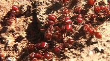 Red Ant Colony, Streaming Out Of Burrow In Ground.