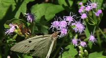 Cabbage Butterfly On Purple Flowers