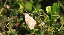 American Snout (Libytheana Carinenta) Warming In The Morning Sun On Vine