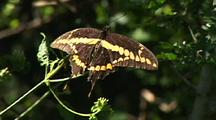 Giant Swallowtail (Papilio Cresphontes) Resting On Plant, Longoria Wildlife Refuge