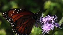 Queen (Danaus Gilippus) Feeding On Food Plant, Longoria Wildlife Refuge