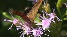 Metalmark Butterfly Feeds On Purple Flowers