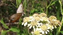 Common Mestra (Mestra Amymone) Feeding On A Food Plant, Wings Fluttering