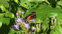 Bordered Patch (Chlosyne Lacinia) Activly Feeding On Flowers