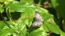 Checkered Skipper Resting On Leaf