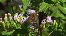 Long Tailed Skipper Feeding On Food Plant, Longoria Wildlife Refuge