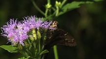 Long Tailed Skipper Feeding On Food Plant, Longoria Wildlife Refuge