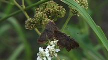 Metalmark Butterflies Feeds On White Flowers