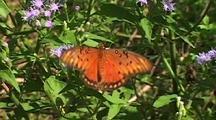 Gulf Fritillary (Agraulis Vanillae) Feeding On Plants, Fluttering Wings