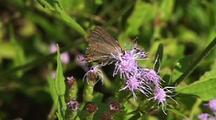 Hairstreak Butterfly Feeding On Purple Flowers